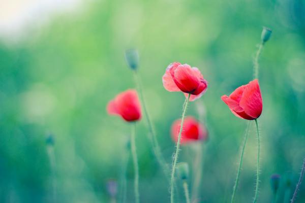 翠绿背景红色花朵唯美PPT背景图片