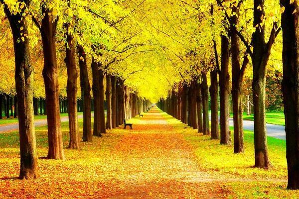 金黄色树木PPT背景图片