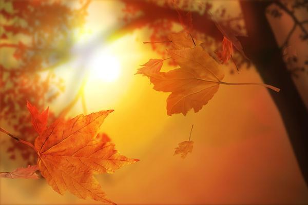 秋风夕阳下的枫叶PPT背景图片