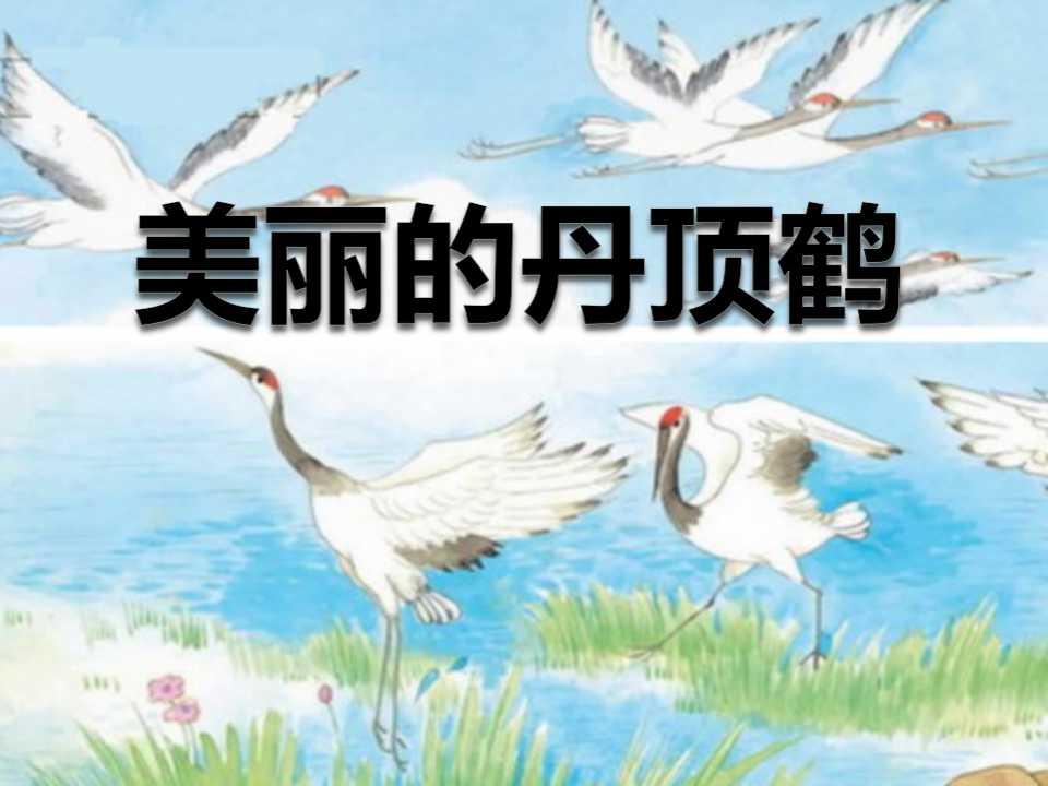 《美丽的丹顶鹤》PPT课件6