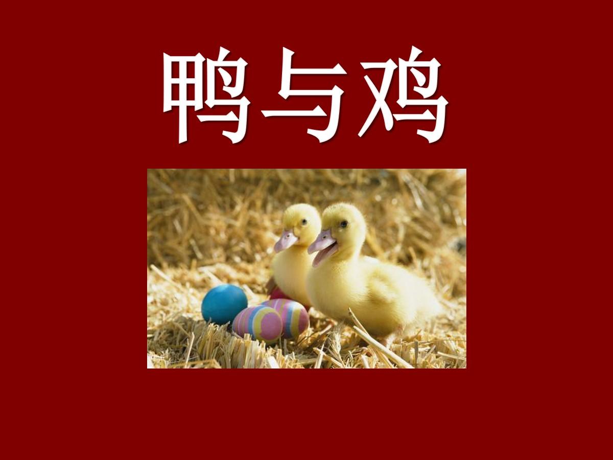 《鸭与鸡》家养小动物PPT课件2