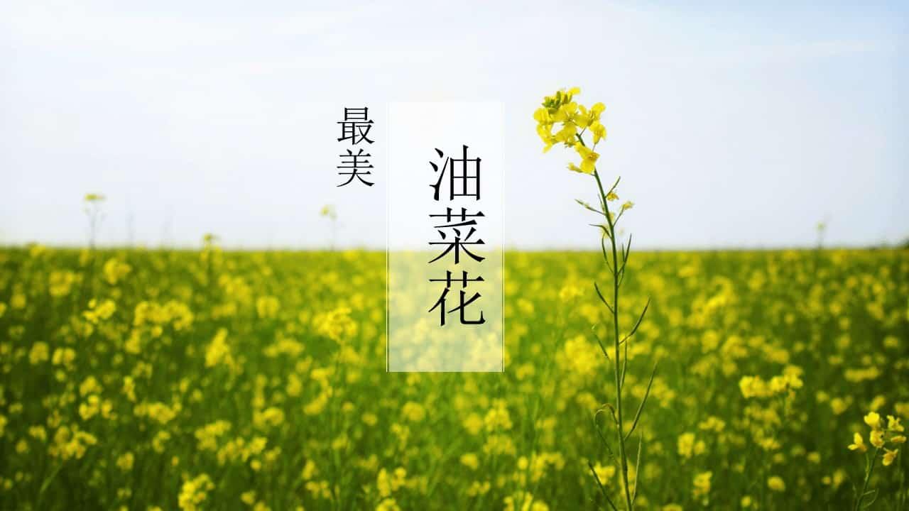 唯美油菜花田风景PPT模板